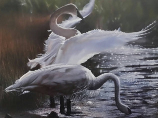 Trumpeter Swans - $100.00